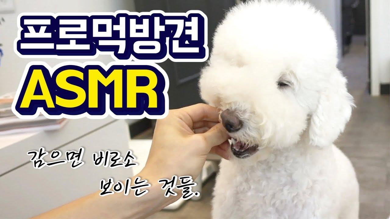 프로먹방견 슈의 강아지 간식 먹방 ASMR / dog asmr eating sound