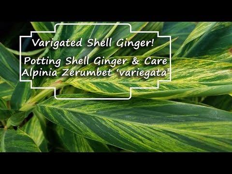 Potting Variegated Shell Ginger & Plant Chat || Alpinia Zerumbet 'Variegata'