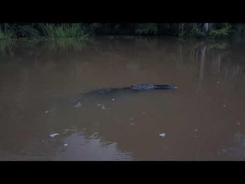 Gators On The Flint River