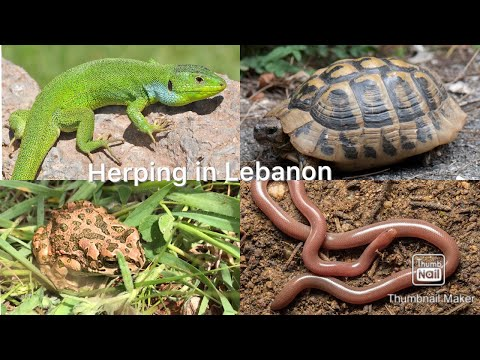Blind Snake,Toad,Tortoises and More! - Herping in Lebanon