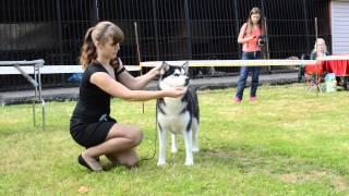 Выставка собак г.Клин 19.09.15  ринг Сибирский хаски