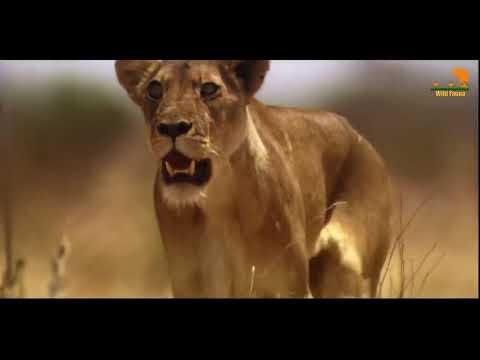 Война за границу прайдов Львов опасное выживания хищных Больших Африканских кошек