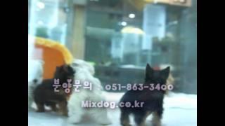 Petshop The Mixdog's Puppies (pomeranian,maltese,yorkshire Terrier,chi Hua Hua)