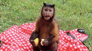 """Monkey Eats """"Pink Lady"""" Apple & Enjoys the SunShine! #summertime"""