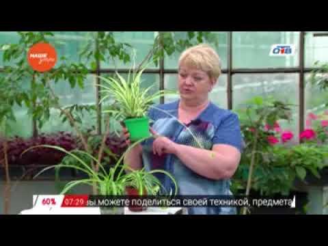 Cадовые истории - о хлорофитуме