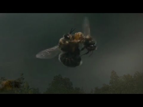 Virgin queen bee fly to mate with drone| bees mating|young virgin queen bee mating