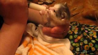 котенок ест из пипетки