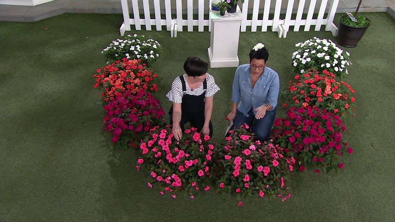 Cottage Farms 8-piece Hearts Desire SunPatiens Collection on QVC