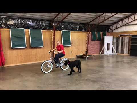 "Biking W/Giant Schnauzers ""Kaya' 17 Mo's Obedience/Protection Trained Dog For Sale"