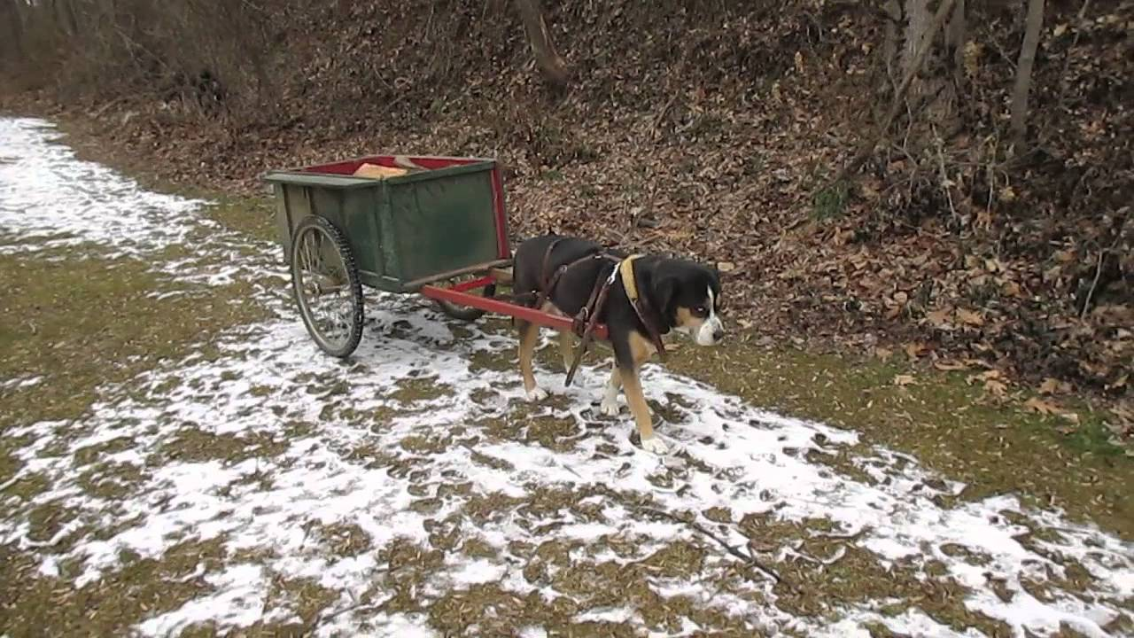Greater Swiss Mountain Dog Carting Wood A