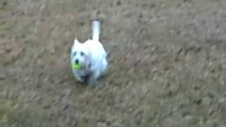 Westie Dogs Playin Catch