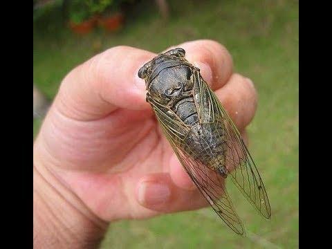 Пение цикад Южная Корея / Как стрекочет цикада / Cicada songs