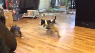 Miniature Bull Terrier Puppies Going Bananas !