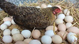 "Hen Harvesting Eggs to Chicks | Country Eggs to New ""BORN\"" Murgi Birds Smallest chicks (FishCutting)"