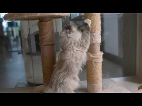 Sacred Birman Cat Special