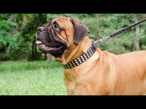 Bullmastiff and other dogs wearing Posh Leather Collar for Walking