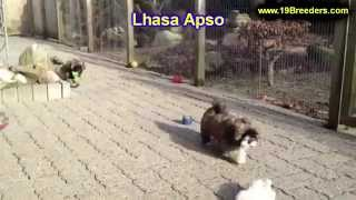Lhasa Apso, Puppies For Sale, In, Nashville, Tennessee, Tn, County, 19breeders, Knoxville, Smith