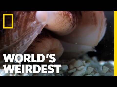 Killer Cone Snail | World's Weirdest