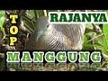 Rajanya Suara Burung Perkutut Lokal Lagi Manggung Istimewa Irama Suara Besar Zebra Dove  Mp3 - Mp4 Download