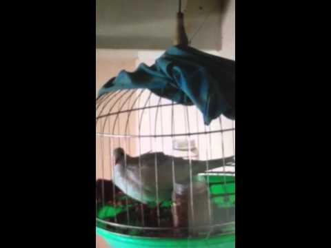 Chim cu bach tang