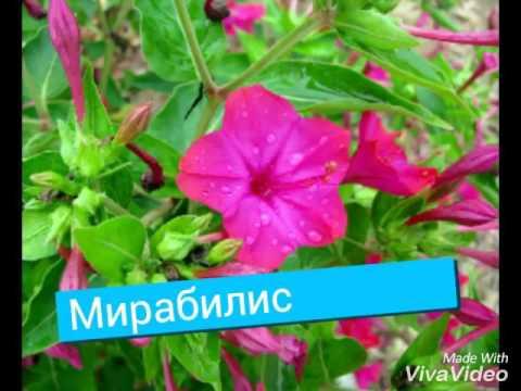 Цветы на букву А