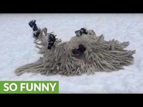 Mop dog plays in the snow in slow motion
