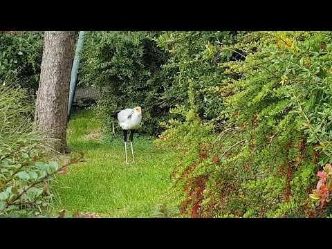 An eating Secretary bird