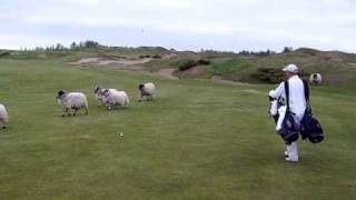 Sheep on Whistling Straits Golf Course