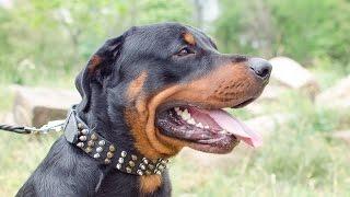 Rottweiler, Bullmastiff And Amstaff Wear Stylish Spiked Leather Collar