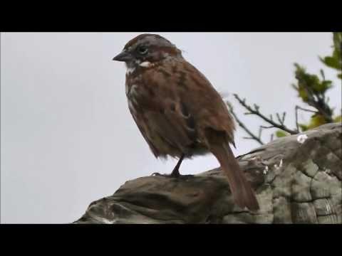 Song Sparrow (Melospiza melodia), Stone Lagoon, Northern California