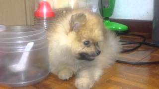 Training a Pomeranian stay calm in puppy stage at Kissbie PetHouse
