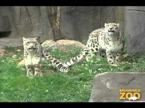 Be Aware of Big Cats at Brookfield Zoo