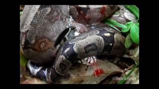 Jiboia come Lagarto Teiú   Boa Snake eats Tegu Lizard   By Photo in Natura