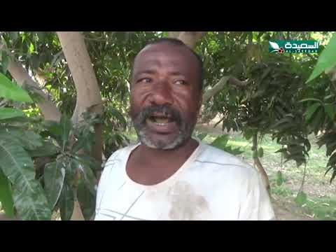 نجاح تجارب لزراعة التفاح في محافظة لحج