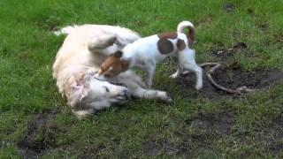 Jack Russell Pup V Golden Retriever White