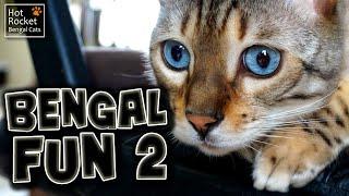 Bengal cat fun – playing, fighting, straws & tents! (pt 2/6)