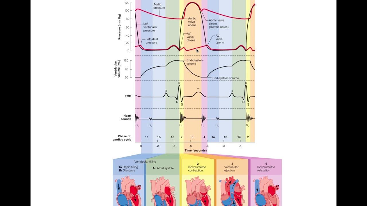 Cardiac Cycle - Wiggers Diagram