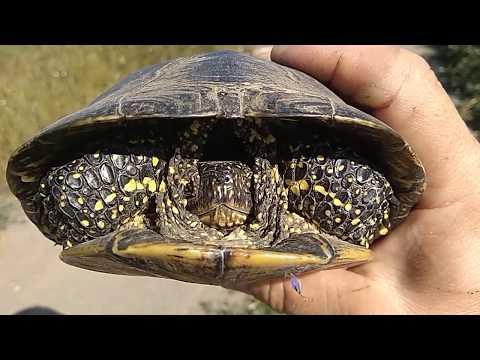 Болотная черепаха...