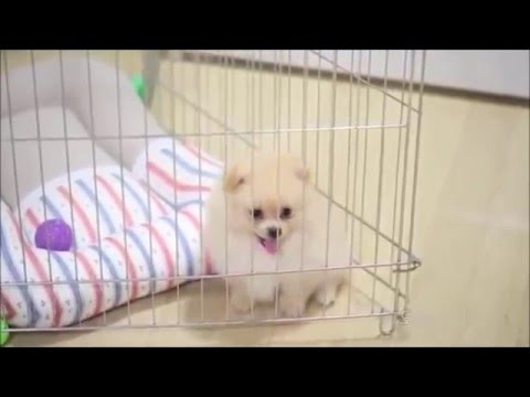 Pomeranian In The Crate Youtube