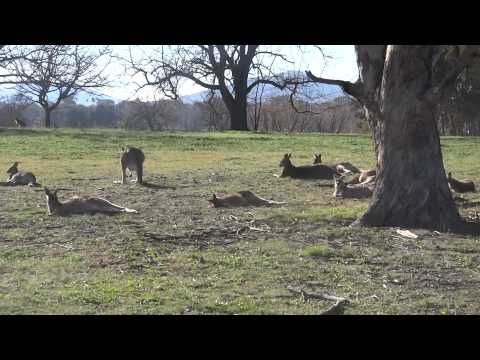 Kangaroos in Western Park, Canberra, 1 July 2014