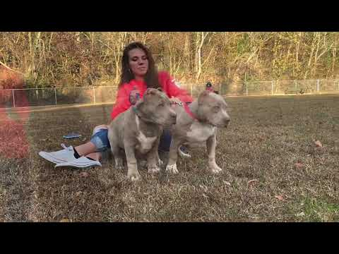 BEST XL AMERICAN PITBULL TERRIER PUPPIES IN THE WORLD; 3 MONTH OLD CHAMPAGNE PITBULL PUPPIES