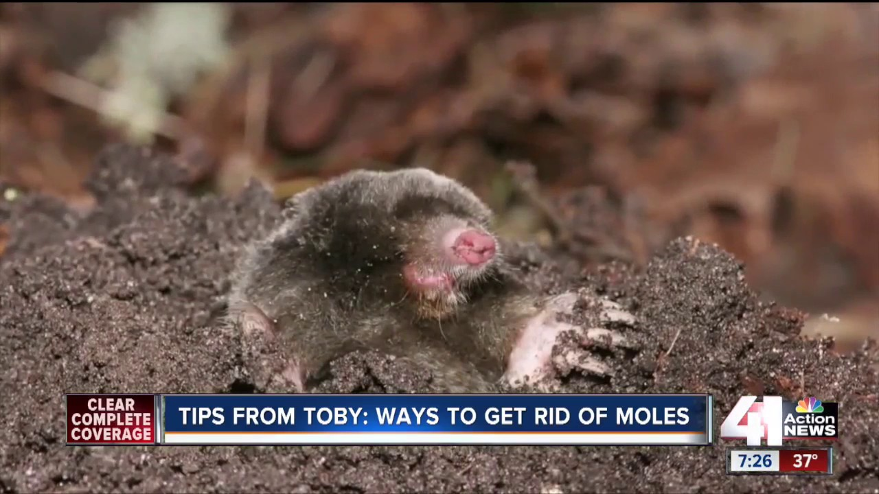 Tips From Toby Ways To Get Rid Of Moles Youtube
