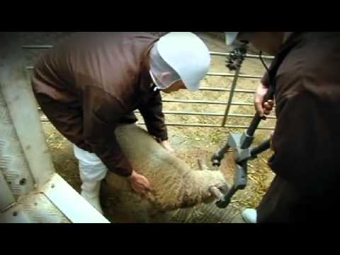 Taking the flock to the abattoir - Gordon Ramsay