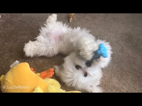 Maltese | My Super Adorable Maltese Puppy Dog Playing With His Toy.