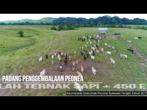 Padang Penggembalaan Ternak Peonea, Morowali Utara, Sulawesi Tengah Drone