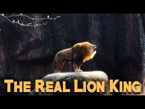 The Lion King In Real Life   Epic Lion Roar   2017