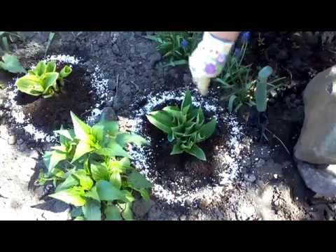 Цветок Хоста - уход и выращивание цветов в клумбе - YouTube