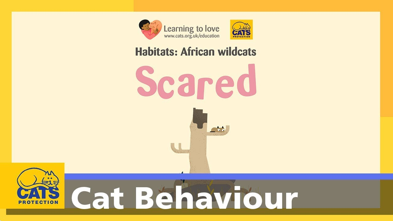 The African Wildcat Scared Cats Protections Cats For Kids Youtube