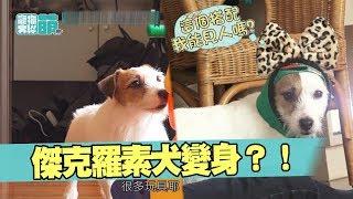 【萌寵】小小惡魔傑克犬變身開喜婆婆?!