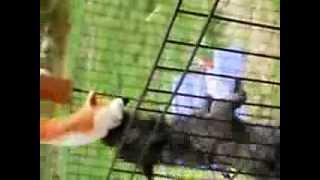Cairn Terrier Puppy Vs. Fox